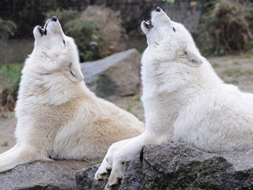 Арктические волки