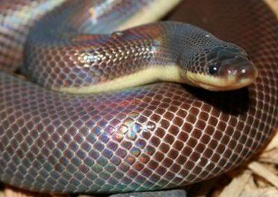 Двухцветная змея