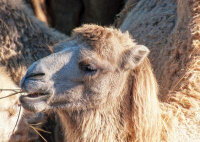 Калмыцкий верблюд
