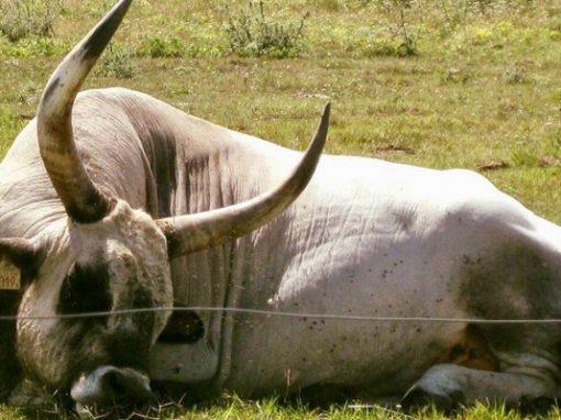 Венгерские длиннорогие быки