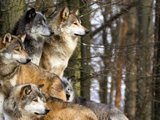 Европейский (степной) волк