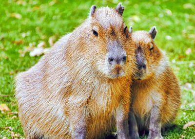 capybara_01
