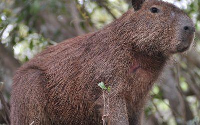 Capibarele s-au mutat într-o casă nouă