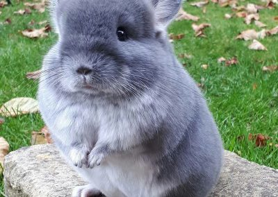 chinchilla_01