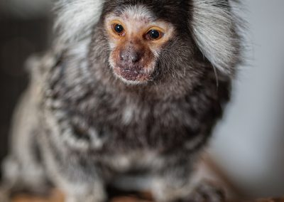 common-marmoset_01