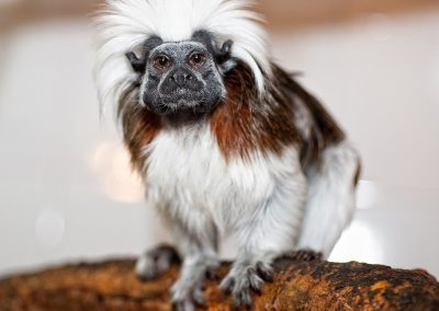 cotton-top-tamarin_01