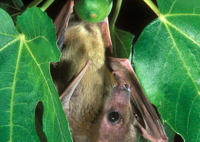 egyptian-fruit-bat_01