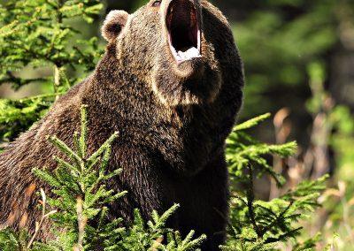 gallery_animals_b_bear_3