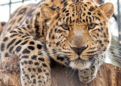 gallery_animals_leopard_1