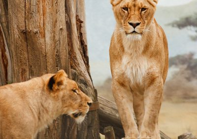 gallery_animals_lions_11