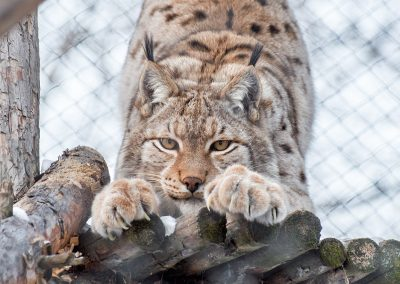 gallery_animals_lynx_1