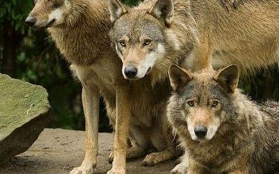 Кишинёвцы напугали животных салютами: волки отказываются от еды