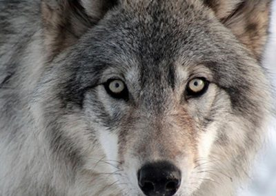 gallery_animals_wolf_4