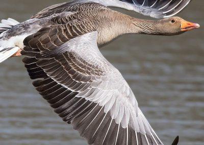 greylag-goose_01