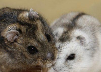 hamster-siberiano_01