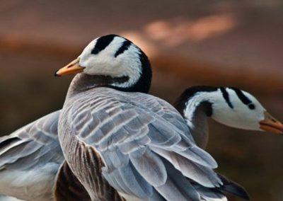 headed-goose_04
