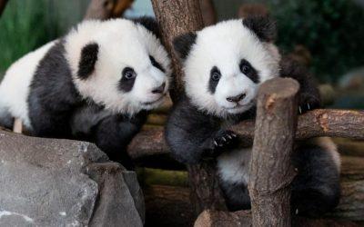 Панды-близнецы в Берлинском зоопарке начали принимать гостей…