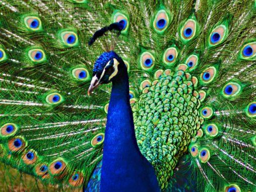 Обыкновенный павлин