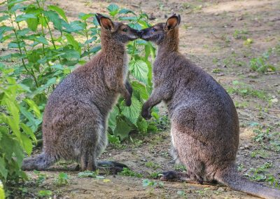 red-necked-wallaby_01