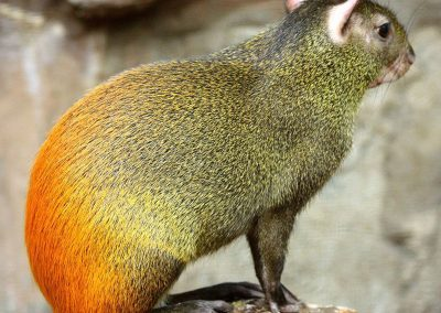 red-rumped-agouti_01