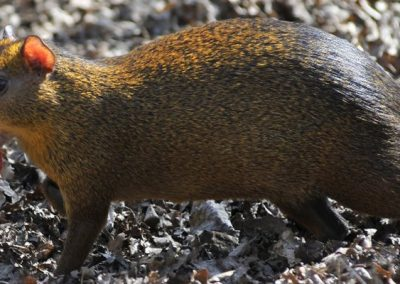 red-rumped-agouti_02