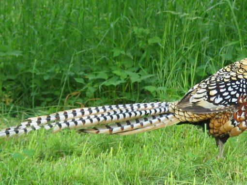 Королевский фазан