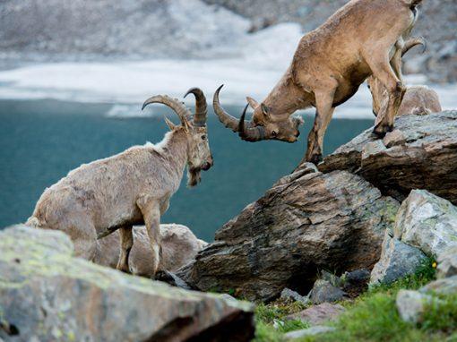 Сибирский горный козёл или ТЭК