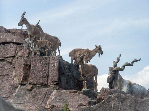 Таджикский винторогий козёл