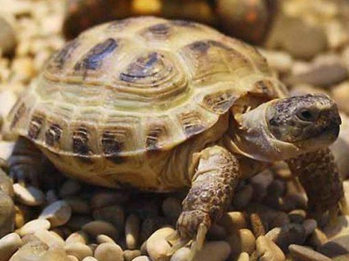 Среднеазиатская или степная черепаха