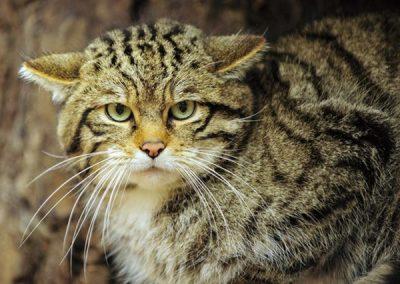 Среднеевропейские лесные коты