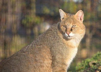 Камышовая кошка или болотная рысь