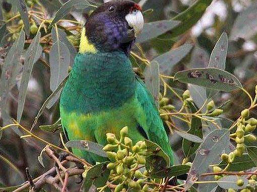Воротничковый попугай