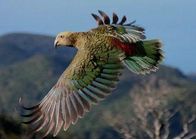 Горный попугай