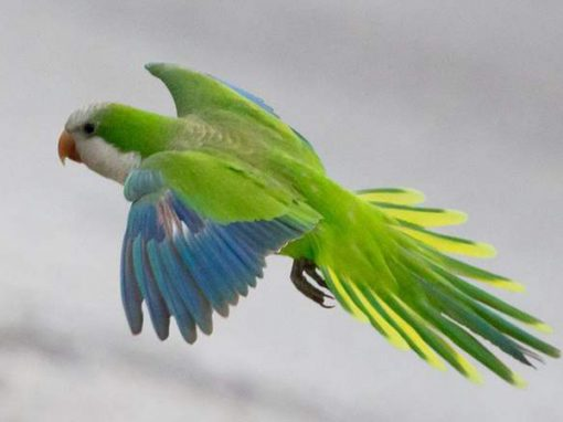 Калита или попугай-монах