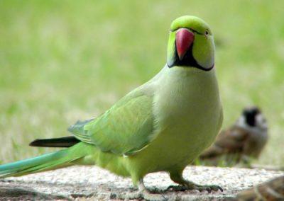 Малый или индийский кольчатый попугай