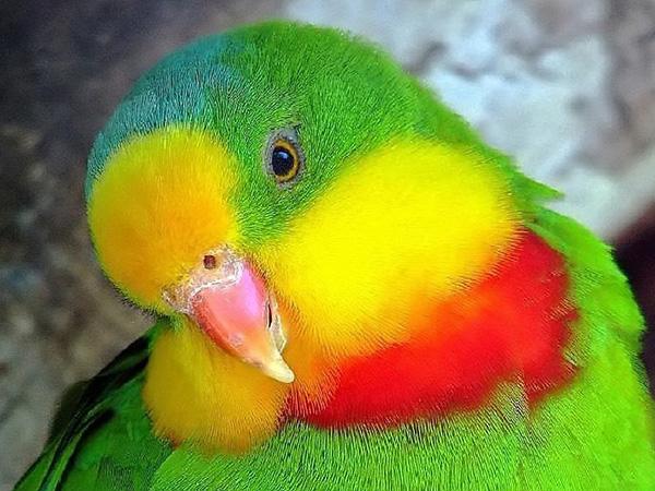 Роскошный баррабандов попугай