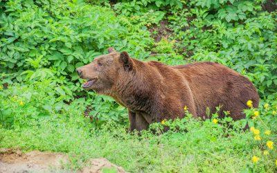 Маша и Ворчун: медведи из Кишинёвского зоопарка переехали в новый вольер