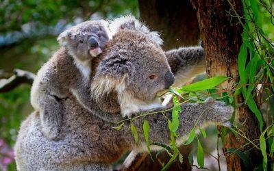 Первый дитёныш коалы появился на свет в Австралии
