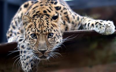 В Приморье для леопардов составили генеалогическое древо