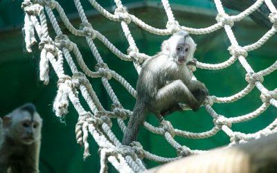 В Московском зоопарке обезьянки-капуцины стали родителями