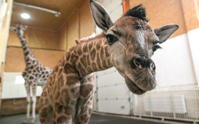 Жирафёнок появился на свет в Одессе