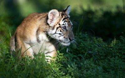 Четыре тигрёнка родились в Москве