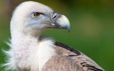В Московском зоопарке из-за перчатки посетителя погиб белоголовый сип