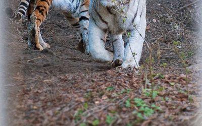Тигры переехали
