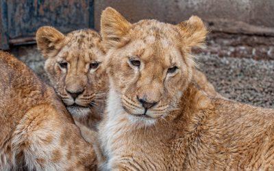 Кличек у прибывших в зоопарк Кишинева львят пока нет: выберут горожане