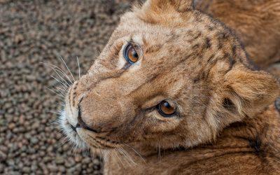 В кишинёвском зоопарке молодые львы вышли из карантина