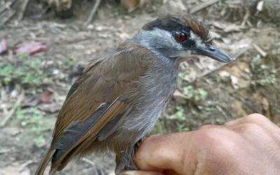 Уникальная птица снова найдена в лесах Борнео