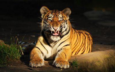 В Приморье поймали нападавшую на собак тигрицу