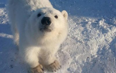 Белого медвежонка спасли в Красноярском крае и перевезли в Москву