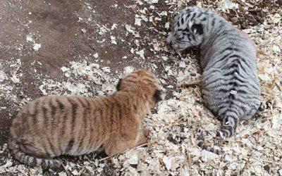 В Кишиневском зоопарке родились двое тигрят